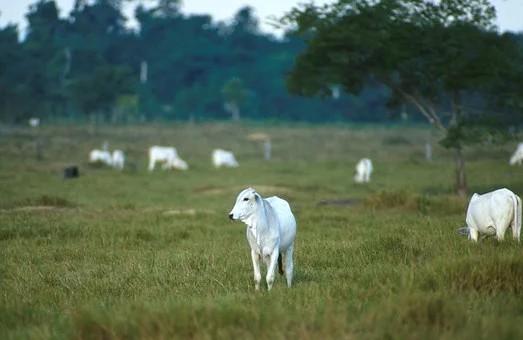 Pecuarista desconfia de pegadas e descobre furto de 100 cabeças de gado