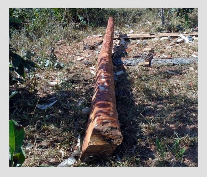 PMA de Cassilândia autua infrator por derrubada ilegal de aroeiras em fazenda