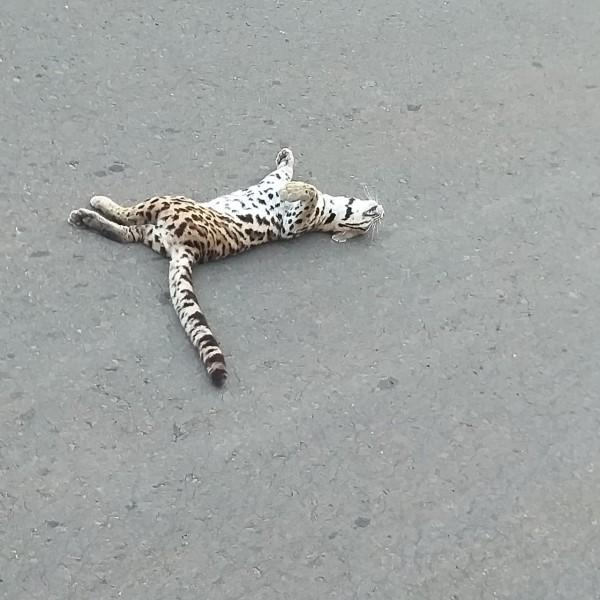 Leitor enviou foto de uma onça (filhote) que foi atropelada por um veículo, na subida da serra para quem se dirige ao Alto Tamandaré ou a Inocência. Cerca de 3 km de distância da Avenida da Saudade. Foi encontrada morta.