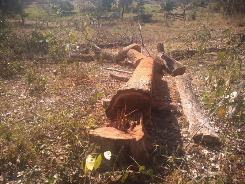 PMA autua infrator por derrubada de árvore para exploração de madeira