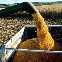 Preço do milho vai se manter?