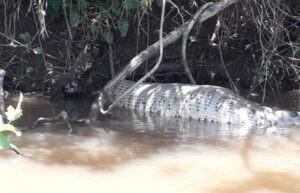 Fotogaleria- Sucuri é flagrada digerindo presa em rio de Paraíso das Águas