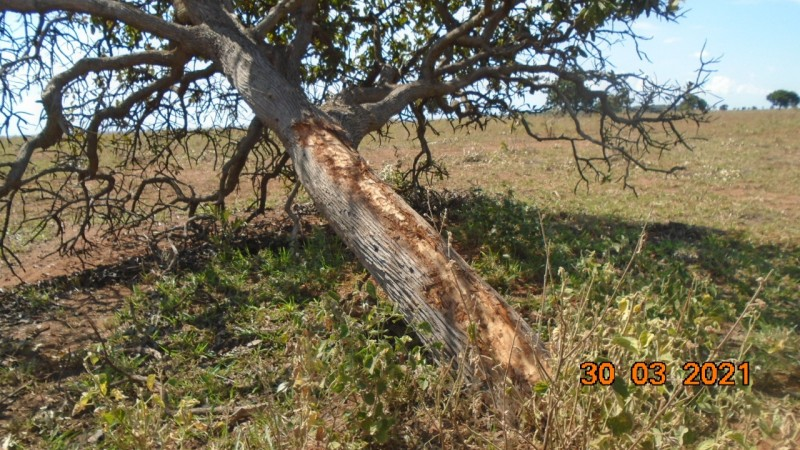 Cassilândia: PMA autua pessoa em R$ 6,9 mil por derrubada de árvores ilegalmente