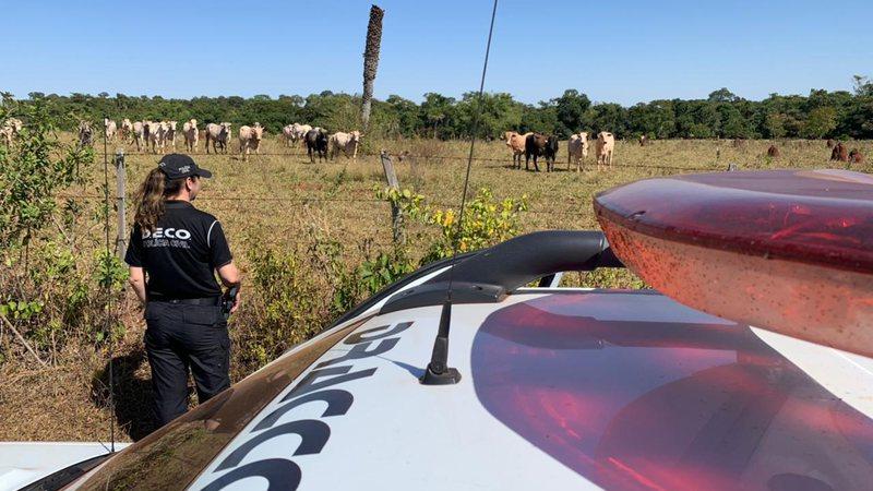 Polícia cumpre mandado de buscas e apreensões após furto milionário de gado nelore em MS