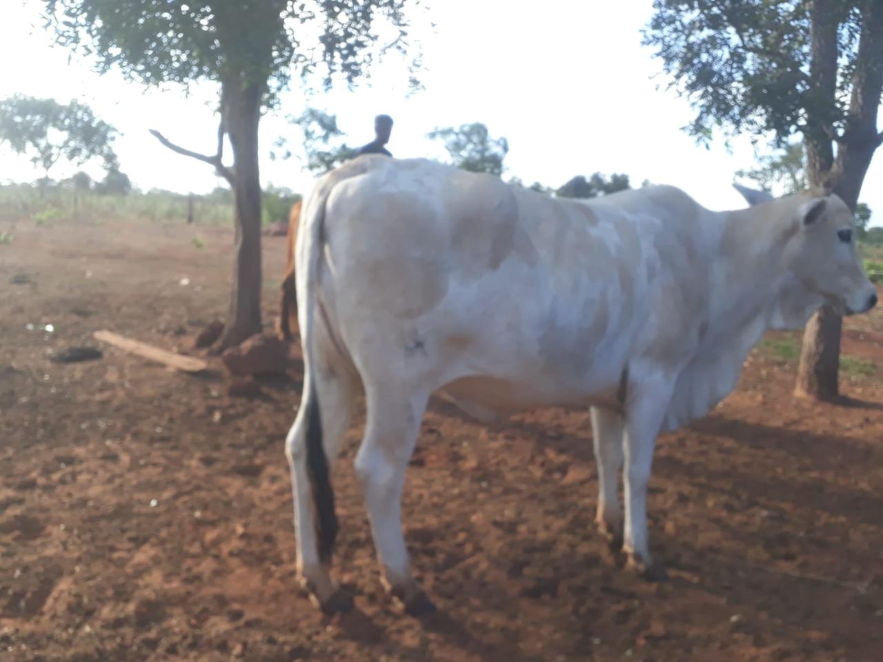 Proprietário rural é preso por furto de gado; Polícia divulga fotos à procura das vítimas
