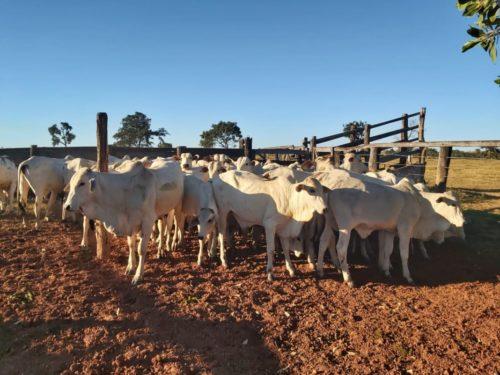 Polícia cumpre prisões preventivas e finaliza investigação sobre furto de gado em Bom Jardim