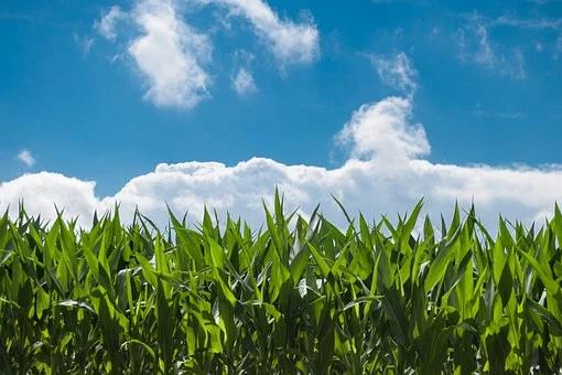 Clima prejudica plantações e colheita do milho é 40% abaixo do esperado